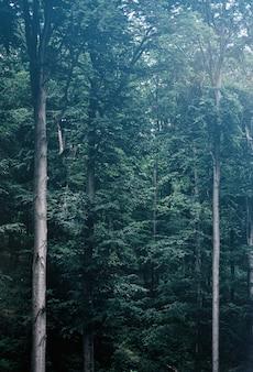 Árvores verdes altas em uma floresta sombria nevoenta.