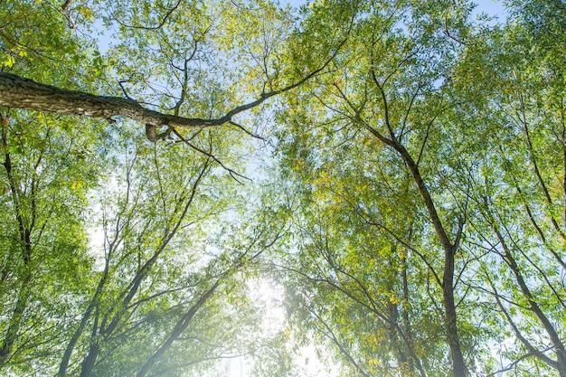 Árvores verdes altas na floresta. manhã na floresta