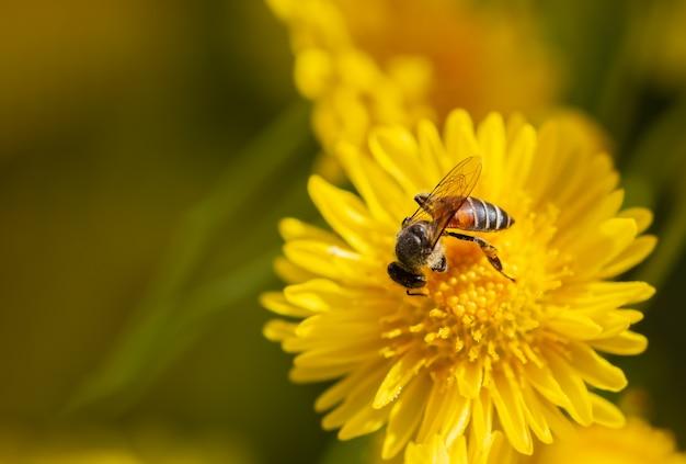 As abelhas do close up sugam o pólen na flor amarela do crisântemo e na luz solar da manhã.