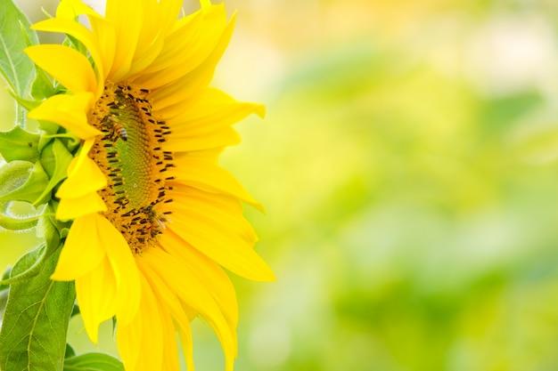 As abelhas encontram néctar do girassol com espaço para texto