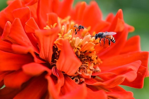 As abelhas estão comendo néctar das flores.