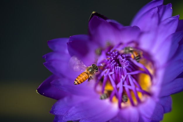 As abelhas obtêm o néctar da bela flor de lótus ou nenúfar roxa.