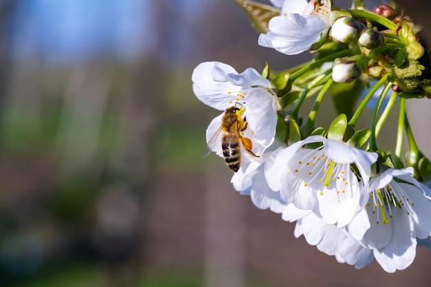 As abelhas polinizam a flor da macieira no jardim na primavera.