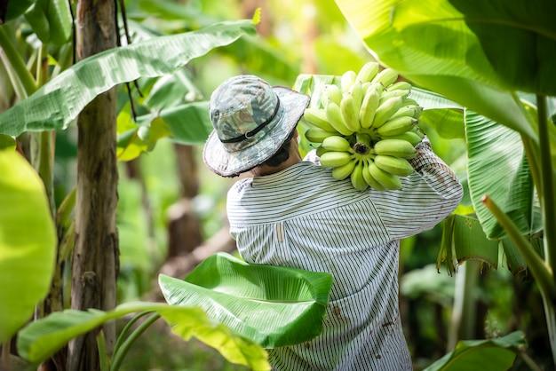 As agricultoras seguram bananas frescas em uma plantação de banana e colhem os produtos em uma plantação de banana.