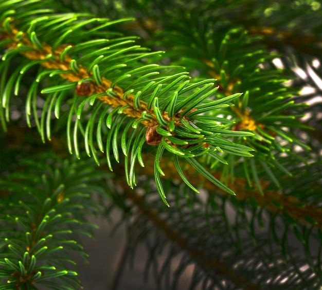 As agulhas em um galho de árvore de natal