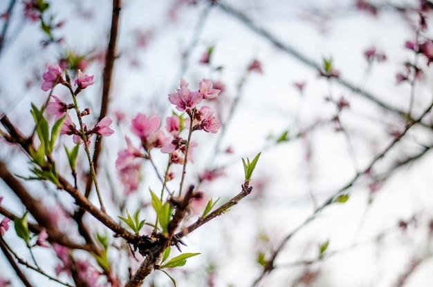 As árvores bonitas de sakura em tailândia gostam de obuse-machi, prefeitura de nagano.