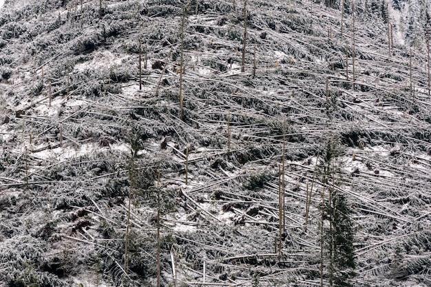 As árvores caídas na floresta conífera após o forte furacão enrolam em romênia.