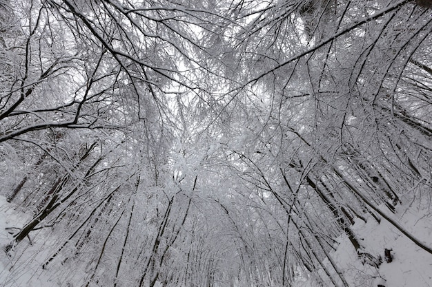 As árvores da floresta ou do parque ficam cobertas de neve no inverno e a floresta densa no inverno