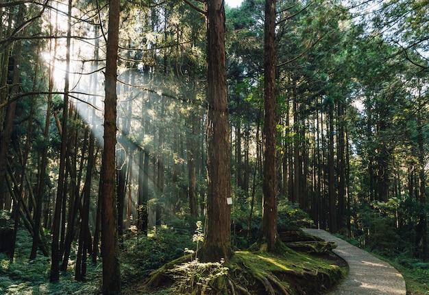 As árvores de cedro japonês na floresta com através da luz solar irradiam na área de recreação nacional da floresta de alishan no condado de chiayi, distrito de alishan, taiwan.