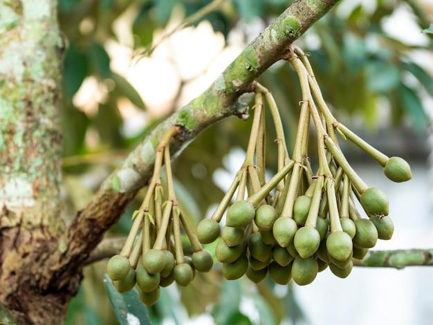 As árvores de durian estão florescendo