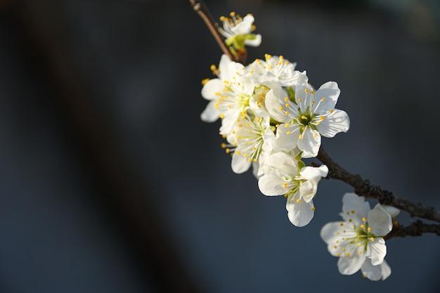As árvores de fruto florescem na primavera, contra um fundo de céu azul e outras árvores floridas. fechar-se
