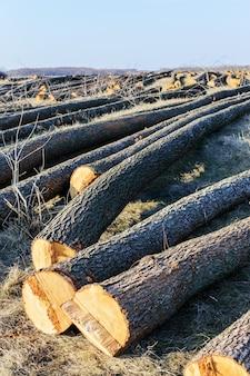 As árvores derrubadas estão no chão. troncos grandes - troncos descascados de galhos. limpando florestas