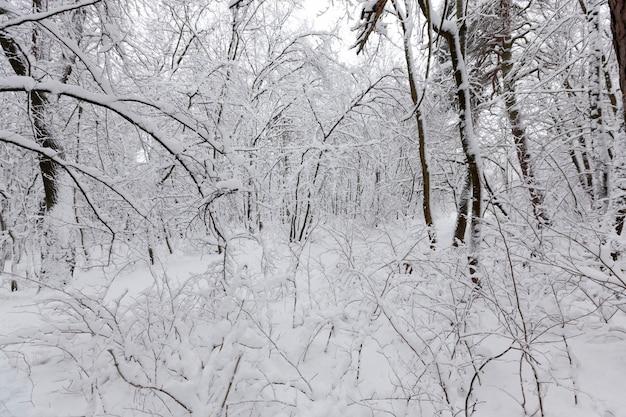 As árvores ficam cobertas de neve após geadas e quedas de neve, montes de neve no parque ou na floresta de inverno, haverá pegadas na neve, um grande número de árvores caducifólias nuas no inverno