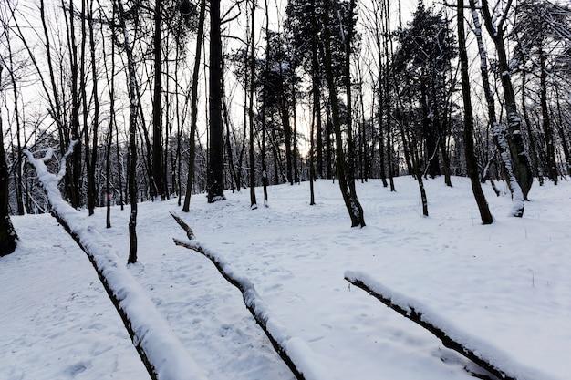 As árvores ficam cobertas de neve após geadas e quedas de neve, um grande número de árvores caducas nuas no inverno, montes de neve no parque ou floresta de inverno, árvores caídas no solo