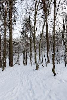 As árvores ficam cobertas de neve após geadas e quedas de neve, um grande número de árvores caducas nuas no inverno, montes de neve no parque ou floresta de inverno, haverá pegadas na neve