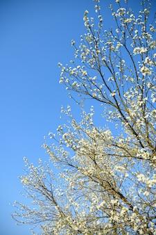 As árvores frutíferas florescem na primavera contra um céu azul e outras árvores floridas