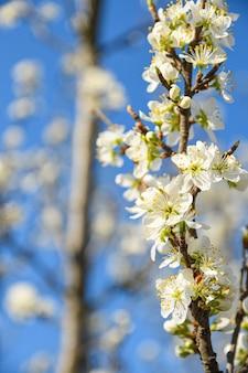 As árvores frutíferas florescem na primavera contra um fundo de céu azul e outras árvores floridas. fechar-se .