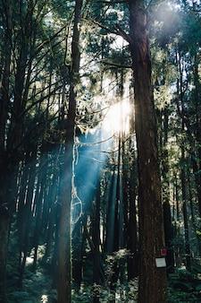 As árvores japonesas do cedro e de cypress na floresta com luz solar direta irradiam na área de recreação nacional da floresta de alishan no condado de chiayi, distrito de alishan, taiwan.