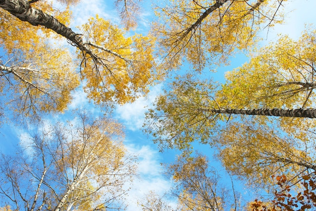 As árvores no fundo do céu de outono com nuvens em um dia ensolarado e claro