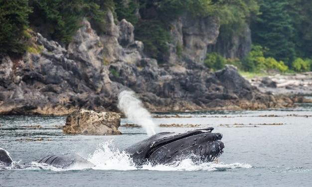 As baleias jubarte estão soltando as fontes. área do estreito de chatham. alasca. eua.