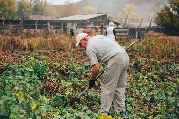 As batatas frescas escavam da terra na exploração agrícola. colheita de batata.