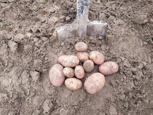 As batatas retiradas com uma pá estão deitadas no chão