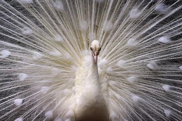 As belas cores do majestoso pavão branco