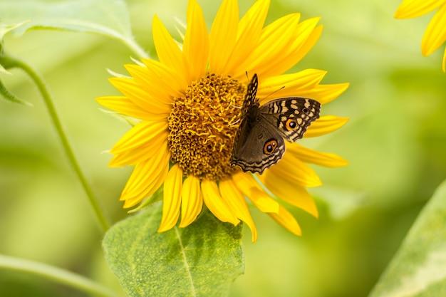 As borboletas empoleiram-se nos girassóis belamente na manhã