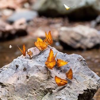 As borboletas estão alimentando minerais ao longo do riacho na floresta tropical.