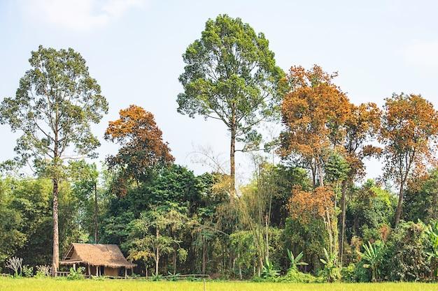 As cabanas de madeira em campos de arroz e árvores com várias cores