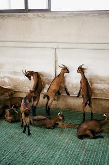 As cabras batem na parede de pé nas patas traseiras