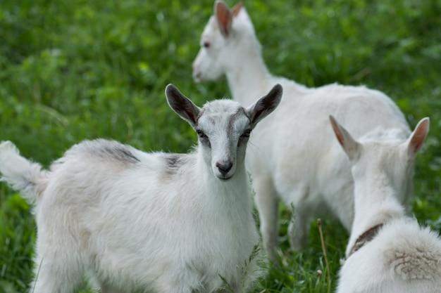 As cabras da família pastam em um prado verde. indústria agrícola e agricultura