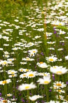 As camomilas brancas crescendo em um campo. pequena profundidade de nitidez