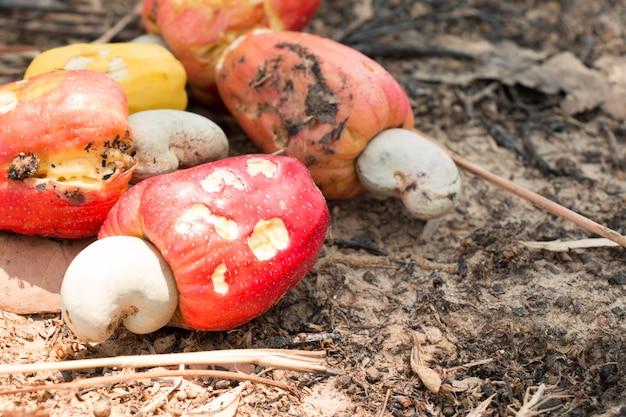 As castanhas de caju vermelhas colhem e coletam tudo no solo