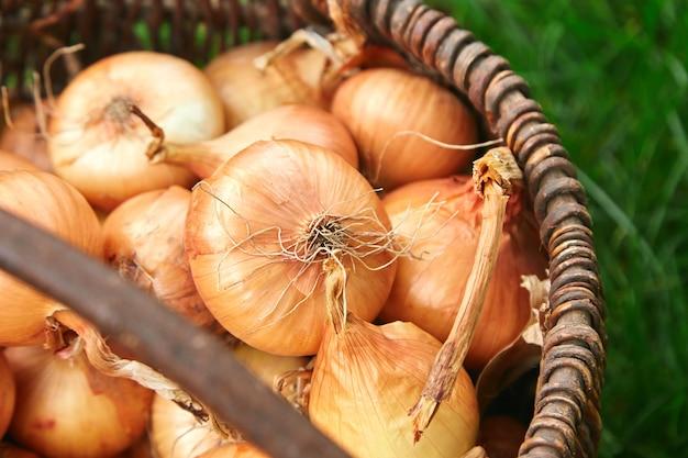 As cebolas frescas colhem na cesta de madeira na grama.