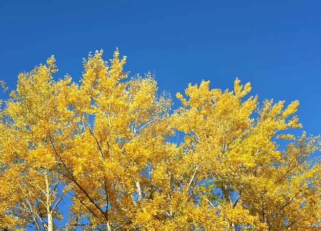 As copas das árvores de outono. folhas amarelas brilhantes contra um céu azul claro