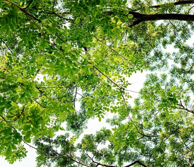 As copas das árvores na floresta