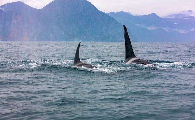 As duas baleias assassinas em repouso selvagem. foco seletivo