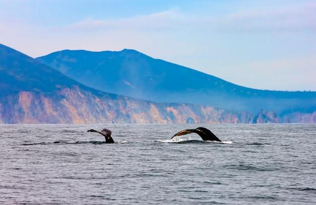 As duas baleias jubarte nadando no oceano pacífico, a cauda das baleias mergulhando