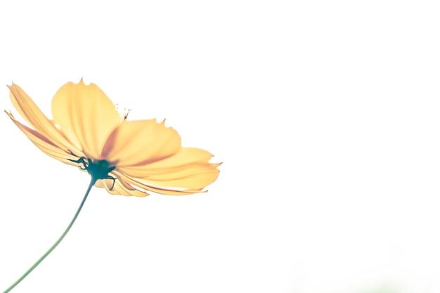 As flores amarelas do cosmos florescem em um fundo branco. único de desabrochar flores amarelas. cartão de felicitações. ideia de felicidade.