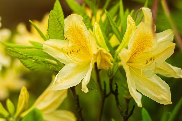 As flores amarelas exóticas do rododendro fecham-se acima do fundo.