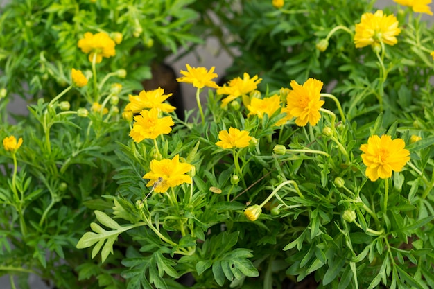 As flores amarelas
