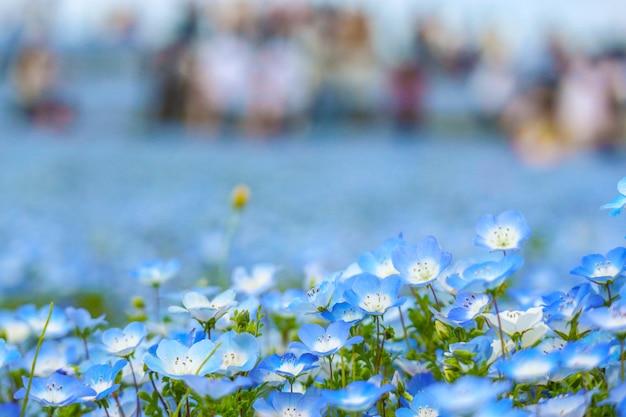 As flores azuis do nemophila aterram na estação de mola com o turista borrado da multidão