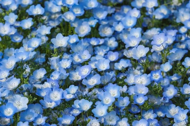 As flores azuis do nemophila aterram no parque de beira-mar de hitachi na estação de mola.