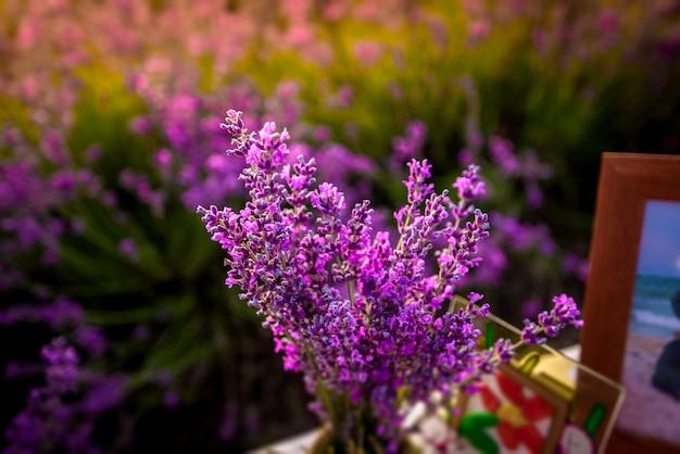 As flores bonitas da alfazema fecham-se acima em um campo durante o por do sol. natureza