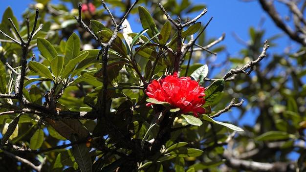 As flores da azálea (arboreum do rododendro) fecham-se acima.
