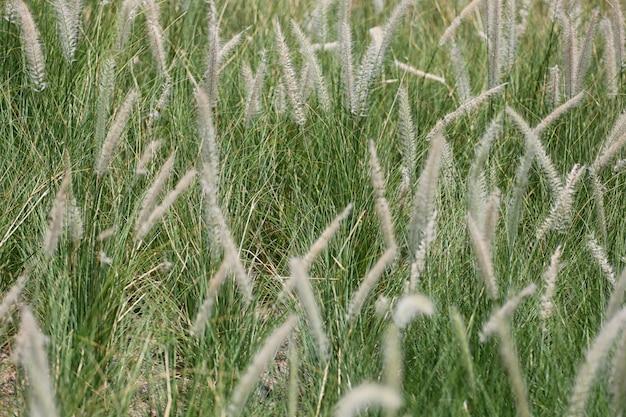 As flores da grama de brown estão florescendo no prado verde.