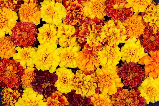 As flores de calêndula são vermelhas, amarelas e laranja, o fundo é uma moldura para o halloween e o dia de los muertos é uma celebração musical