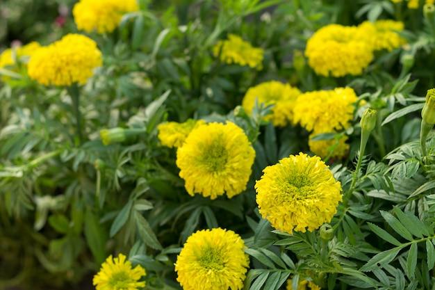 As flores de calêndula
