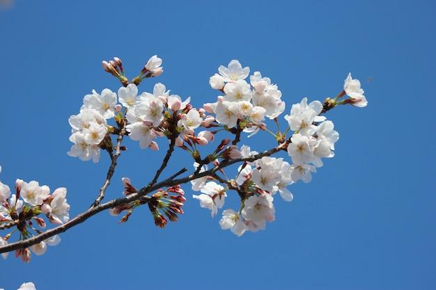 As flores de cerejeira brancas japonesas sakura florescem o ramo no fundo do céu azul.